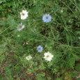 ニゲラの白と青の花