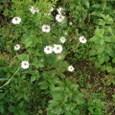 ニゲラのかわいい花