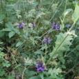 セルフヒールの花