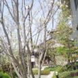 2008年4月の庭  はなみずき