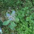 ポリジの青い花