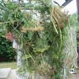 デイル、パセリ、などのハーブの種を取る
