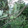 オリーブその2 雌株、とってもたくさん実をつけてます
