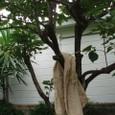 梅雨の柿木、そして柿の葉から染めた布と