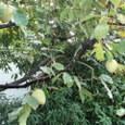 秋の雨の朝に  渋柿