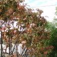 秋の雨の朝に すでに紅葉