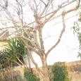 年末 剪定ですっかりすっきりした冬の木