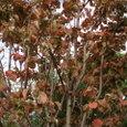 秋の雨の朝に  すでに紅葉してるはなみずき