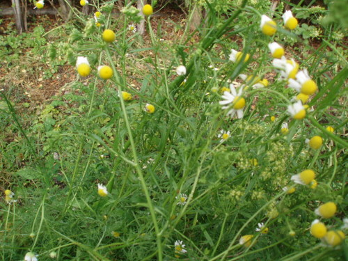 カモミールの花