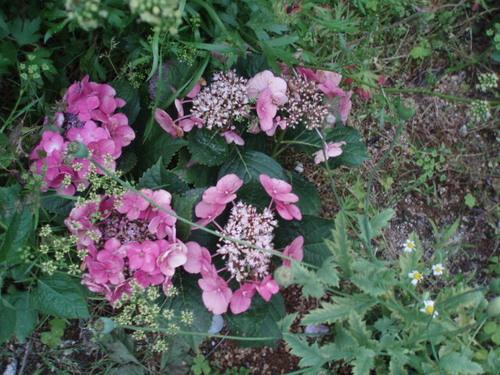 娘がくれたアジサイを庭に咲かせています