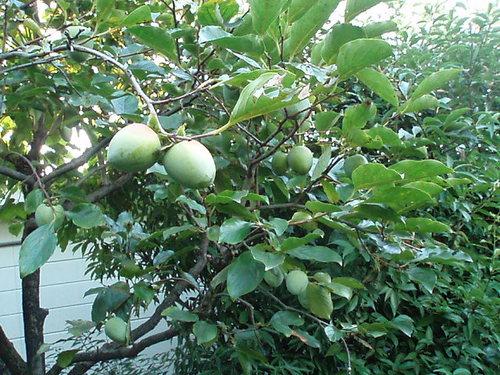 真夏の渋柿 いっぱい実がなりそうです