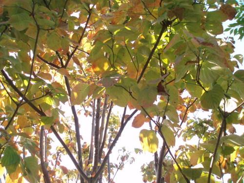 秋の庭  はなみずき