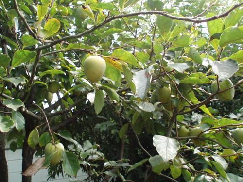 秋の庭  庭の渋柿