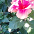 8月10日 ハイビスカス 繊細な美しさ