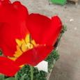3月8日 赤いチューリップ 恋の告白