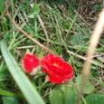 6月9日 赤いバラ 愛 恋