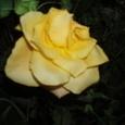 1月28日 黄色いバラ 嫉妬