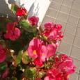 6月14日 四季咲きベコニア  親切