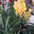 1月12日黄色フリージア無邪気