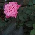 7月4日 バラ(ピンク) 感銘
