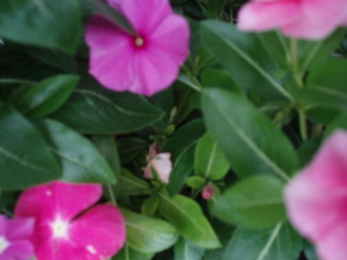 7月13日ペチュニア 心の平安
