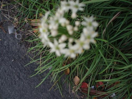 6月7日 ホワイトレースフラワー 可憐な心