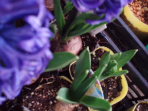 2月17日 紫ヒアシンス  悲哀