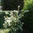 私の庭のこでまり