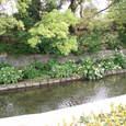西条高校の裏のお堀の水辺の花と新緑