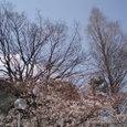 2008年 高校構内の桜
