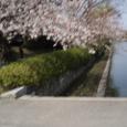 2008年 高校周辺の桜