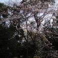 2008年 高校のお堀端の桜、まだつぼみ
