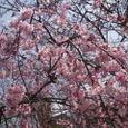 2008年市内の枝垂桜