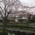 市内を流れる川と桜
