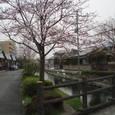 光明寺に近い桜