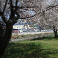 御舟川と川沿いの桜