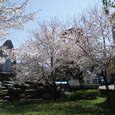 御船川沿いの憩いの場の桜