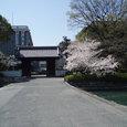 西条高校の桜