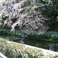 お堀端の裏のしだれ桜