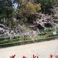 西条高校の裏の桜