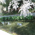 お堀の周りにひっそりと咲く桜
