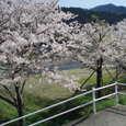 加茂川の土手沿いの桜