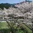 加茂川川沿いの桜