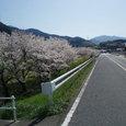 山へ行く道の周りの桜