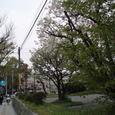 市役所からお堀へ出る並木道の桜
