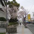 市役所横から商店街へ抜ける道の桜