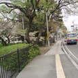 西条高校裏門から出たところの桜並木