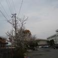 出身校西条北中の桜