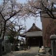 誓願寺の桜