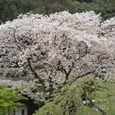 武丈公園の満開の桜